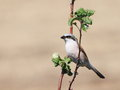 Red backed shrike on branch lanius collurio Stock Photos