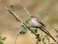Red backed shrike on branch lanius collurio Royalty Free Stock Photos