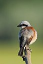 Red backed shrike on a branch preen in morning sunlight Stock Photo