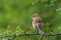 Red backed shrike female on a branch in bulgaria Stock Images