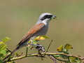 Red Backed Shrike with green caterpillar prey Stock Photography