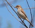 Red backed shrike lanius collurio Royalty Free Stock Photography