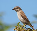 Red backed shrike lanius collurio Stock Photo
