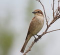 Red backed shrike lanius collurio on branch Royalty Free Stock Image