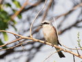 Red backed shrike lanius collurio on branch Royalty Free Stock Photos