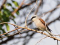 Red backed shrike lanius collurio on branch Royalty Free Stock Images