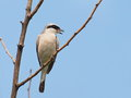 Red backed shrike lanius collurio on branch Stock Image