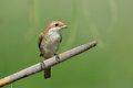Red backed shrike lanius collurio in natural habitat juvenile Stock Photography
