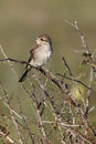 Red backed shrike lanius collurio single female perched on branch bulgaria may Royalty Free Stock Photo