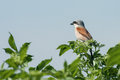 Red backed shrike a male Stock Image