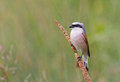Red backed shrike male on a bulrush perch in bulgaria Stock Photos