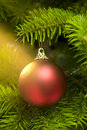 Red ball in a real Caucasian Fir Christmas tree Royalty Free Stock Photo