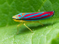 Red banded leaf hopper on green leaf Royalty Free Stock Photo