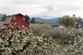 Red Barn in Hood River Pear Orchard Royalty Free Stock Photography