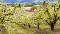 Red barn in oregon pear orchards bright blooming on cloudy spring day Royalty Free Stock Photography