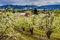 Red barn in oregon pear orchards bright blooming on cloudy spring day Royalty Free Stock Photo