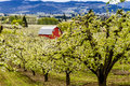 Red barn in oregon pear orchards bright blooming on cloudy spring day Stock Images