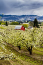 Red barn in oregon pear orchards bright blooming on cloudy spring day Royalty Free Stock Photos