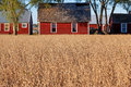 Red Barns and Golden Wheat in Rural Michigan Royalty Free Stock Photo