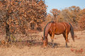 Red bay Arabian horse grazing Stock Images