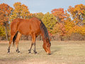 Red bay Arabian horse in pasture Royalty Free Stock Photo