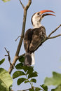 Red beaked hornbill Stock Photography