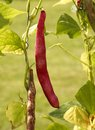 Red bean pod in sunny illuminated natural ambiance Stock Images