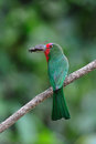 Red-Bearded Bee eater Stock Photo