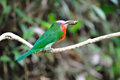 Red-Bearded Bee eater Royalty Free Stock Photos