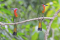 Red bearded bee eater a couple lover of standing on a branch Royalty Free Stock Image