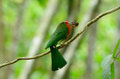 Red bearded bee eater nyctyornis amictus beautiful female with insect at kaeng krachan national park thailand Royalty Free Stock Photos
