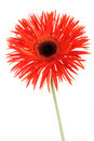 Red beautiful gerbera Stock Photography