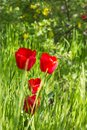 Red beautiful tulips field in spring time