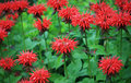Red bee balm Stock Photography