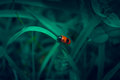 Red beetle with black spots similar to alien his muzzle sitting on a dark green leaf Royalty Free Stock Photography