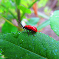 Red beetle leaf Stock Photo