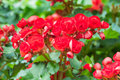 The Red Begonia Flower In The ...