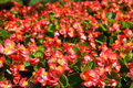 Red begonia flowers blooming in the flower garden Royalty Free Stock Images