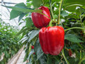 Red bell peppers in a greenhouse Royalty Free Stock Photo