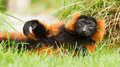 Red-bellied Lemur (Eulemur rubriventer) Stock Image