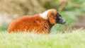Red bellied lemur eulemur rubriventer relaxing in the sun Stock Image