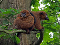 Red bellied lemur two lemurs on a tree branch Royalty Free Stock Photo