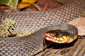 Red bellied water snake a close up of a Stock Photography
