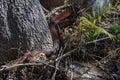 Red-bellied Watersnake In Okef...