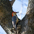Red-Bellied Woodpecker Royalty Free Stock Photos