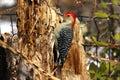 Red-bellied Woodpecker Stock Image