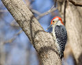 Red Bellied Woodpecker Eating ...