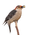 Red bellied woodpecker eats a kernel of corn profile perched on branch the bird is to eat the in its beak white background Stock Photography