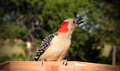 A red bellied woodpecker eats a sunflower seed Royalty Free Stock Photography
