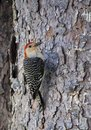 Red Bellied Woodpecker On Pine...